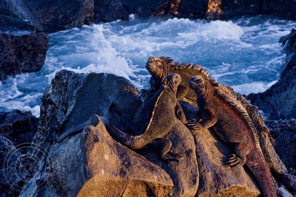 Basking Marine Iguanas