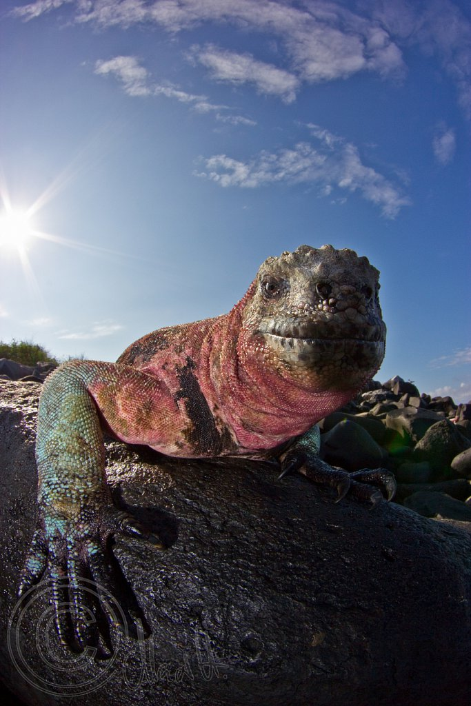 Colourful Marine Iguana during Mating Season