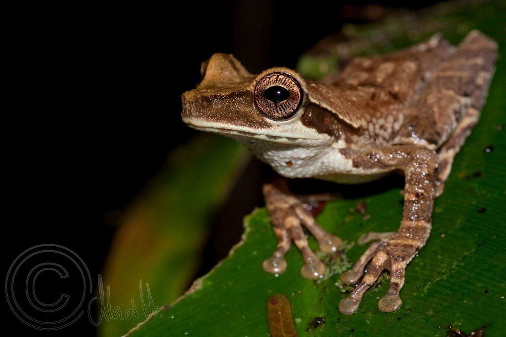 Amazon Treefrog